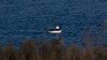 Male BUFFLEHEAD... motors thru the lagoon...