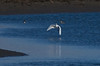 Great Egret winging over the Lagoon...