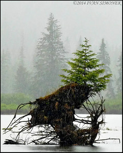 """NEW OUT OF OLD"",Stikine river,Alaska,USA."