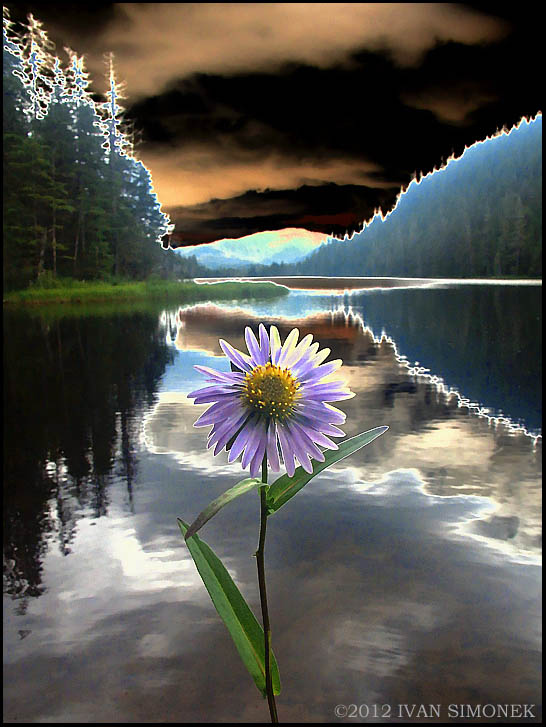 """SOLARIZED SUBALPINE DAISY"",Long lake,Wrangell,Alaska,USA."