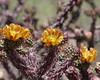 Cholla flower2- Saguaro NP 5-09
