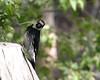 Acorn woodpecker2 Portal AZ 5-09