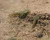 Bullfrog tadpoles- San Bernadino NWR AZ 5-09