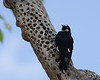 Acorn woodpecker Portal AZ 5-09