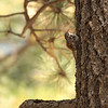 Brown creeper_Portal AZ 9-09