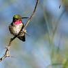 Broad-tailed Hummer_Portal AZ 9-09