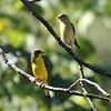 Lesser Goldfinch_Portal AZ 9-09