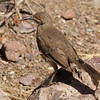 curve-billed thrasher_Portal AZ 9-09