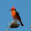 2017_ vermillion flycatcher_ San Pedro Riparian Area_ AZ_ April_IMG_7057