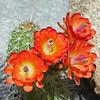 2017_ cactus bloom_Ramsey Canyon AZ_April_IMG_9985
