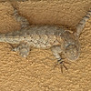 2017_ Clark's spiny lizard_ Ash Canyon_ AZ_ April_IMG_6918