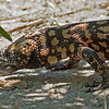 2017_ gila monster close-up_Sabino Canyon_AZ_April_IMG_7436