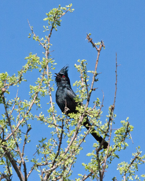 2017_ phainopepla_ Tubac AZ_ April_IMG_9735