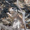 2017_ round-tailed ground squirrel_ Sabino Canyon_AZ_April_IMG_7519