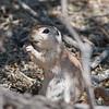 2017_ round-tailed ground squirrel_ Sabino Canyon_AZ_April_IMG_7519
