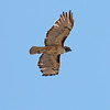 2017_ red-tailed hawk_Sabino Canyon_AZ_April_IMG_7385