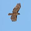 2017_ red-tailed hawk_Sabino Canyon_AZ_April_IMG_7385