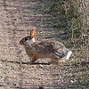 2017_ desert cottontail_ Tubac AZ_ April_MG_9653