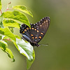 2017_ red-spotted purple_Ramsey Canyon_AZ_April_IMG_7149