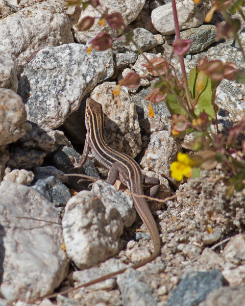 2017_ gila spotted whiptail lizard_ Sabino Canyon_AZ_ April_IMG_7417