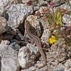 2017_ gila spotted whiptail lizard_ Sabino Canyon_AZ_ April_IMG_7417