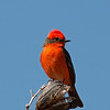 2017_ vermillion flycatcher_ San Pedro Riparian Area_AZ_April_IMG_7058