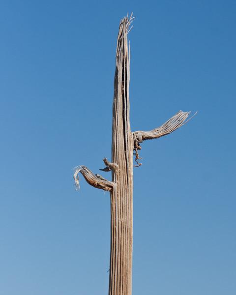 2017_ saguaro bones_Saguaro Natl Park_ April_IMG_0357