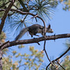 2017_ Abert's squirrel- introduced from Mt Graham_Mt Lemmon_AZ_April_IMG_7347