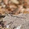 2017_ lavendar dancer damselfly_ Ramsey Canyon, AZ_ April_IMG_6656