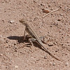 2017_ zebra-tailed lizard_Patagonia_AZ_April_IMG_9941