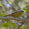 2017_ hepatic tanager_Ramsey Canyon_ AZ_ April_IMG_7170