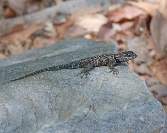 2017_ Yarrow's spiny lizard_Ramsey Canyon AZ_ April_IMG_9994