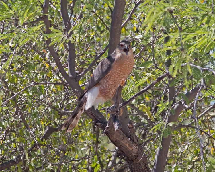2017_ Coopers hawk_angry_Saguaro Natl Park_AZ_April_IMG_7317