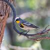 2017_ Audubon's yellow-rumped warbler_ Patagonia_AZ_ April_IMG_6619