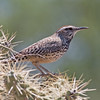 2017_ cactus wren_Sabino Canyon_AZ_April_IMG_7498