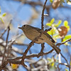 2017_ Hutton's vireo_ Ramsey Canyon AZ_April_IMG_0269