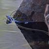 2017_ black-necked gartersnake_ Sabino Canyon_ AZ_ April_IMG_7433