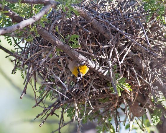 2017_ verdin coming out of nest_ Tubac_AZ_April_IMG_6410