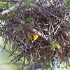 2017_ verdin coming out of nest_ Tubac_AZ_April_IMG_6410