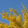 2017_ palo verde blooming_Tubac_AZ_ April_IMG_9493