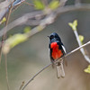 2017_ painted redstart_ Madera Canyon_AZ_April_IMG_5881