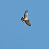 2017_ broad-winged hawk_ Tubac_AZ_ April_IMG_5957