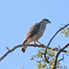 2017_ Coopers hawk_Tubac_AZ_ April_IMG_6159