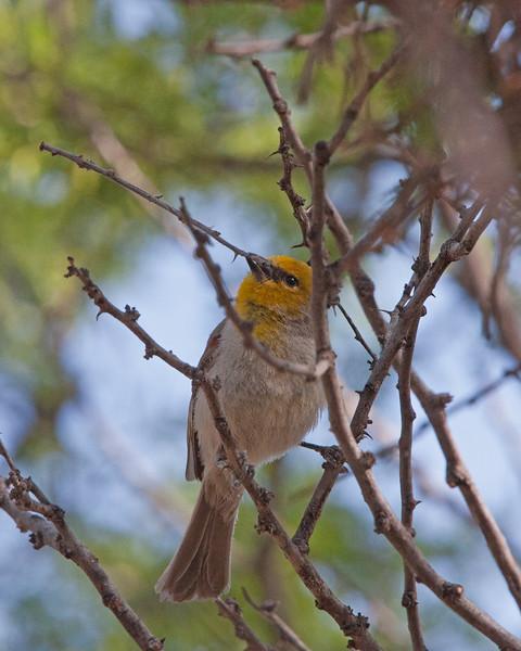 2017_ verdin with nesting material_ Tubac_AZ_ April_IMG_9548