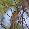 2017_ verdin with nesting material_ Tubac_AZ_ April_IMG_9548