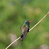 2017_ broad-billed hummingbird_ Tubac_AZ_ April_IMG_9633