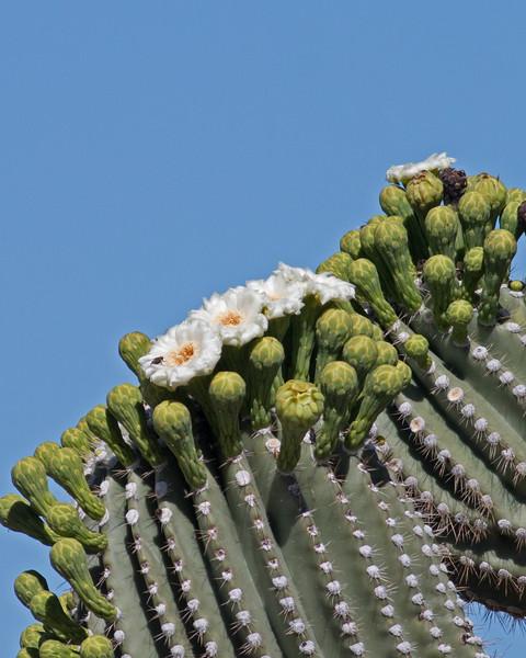 2017_ saguaro flower_Saguaro Natl Park_AZ-April_IMG_7274