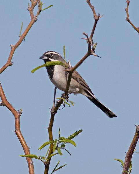 2017_ black-chinned sparrow_Sabino Canyon_AZ_April_IMG_7355