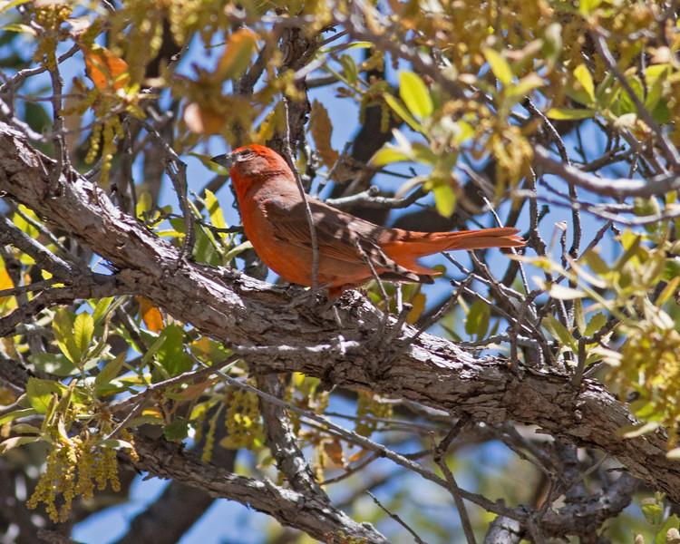 2017_ hepatic tanager_ Ramsey Canyon_ AZ_ April_IMG_7110
