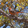 2017_ hepatic tanager_ Ramsey Canyon_ AZ_ April_IMG_7110